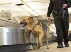 German Shepherd bomb sniffing dog inspecting airport luggage carousel.
