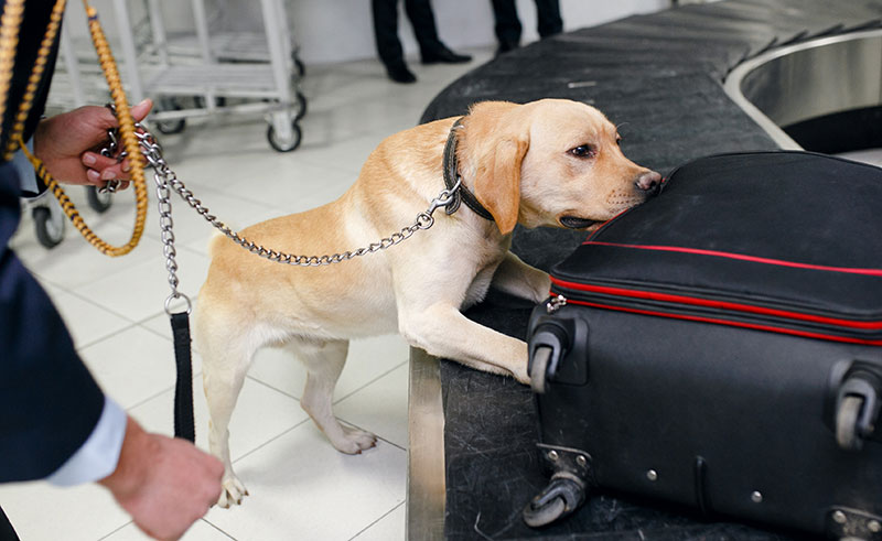 Labrador Retriever sniffs for bombs in airport luggage.