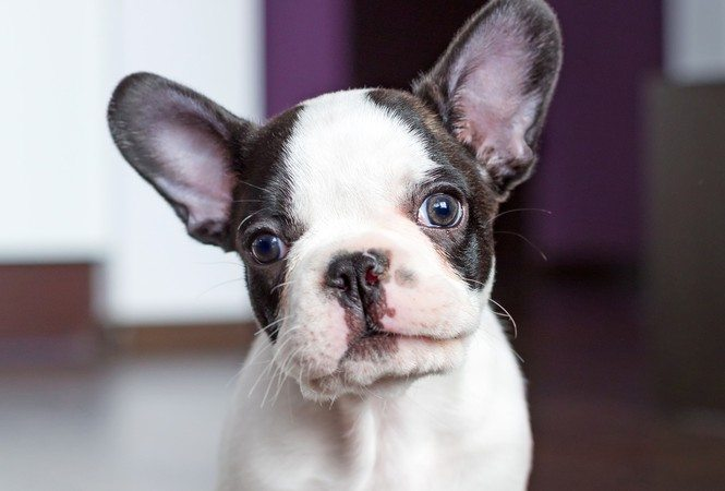 Is a French Bulldog Right For You