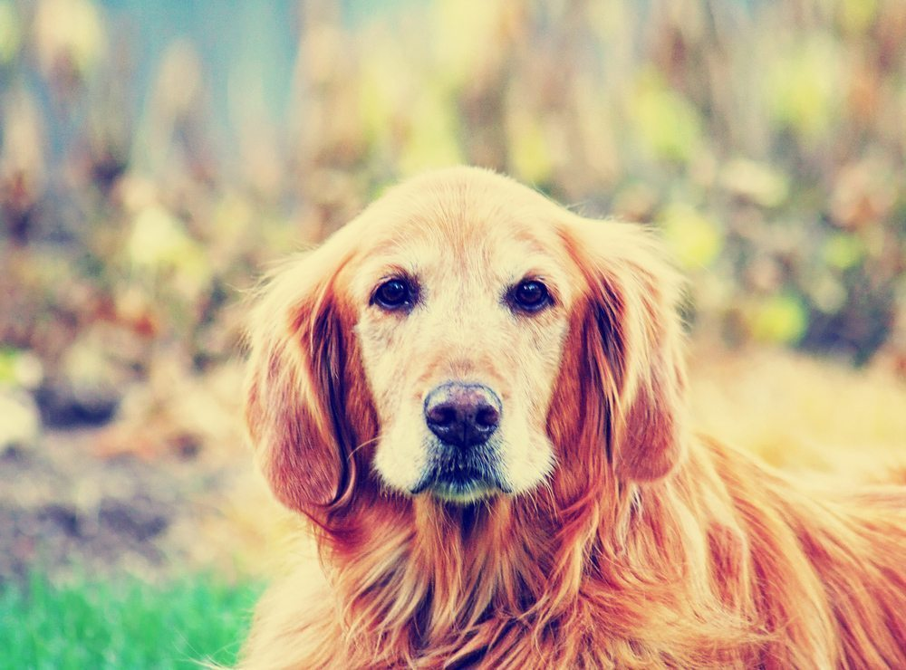 Yeast Infection In Dogs