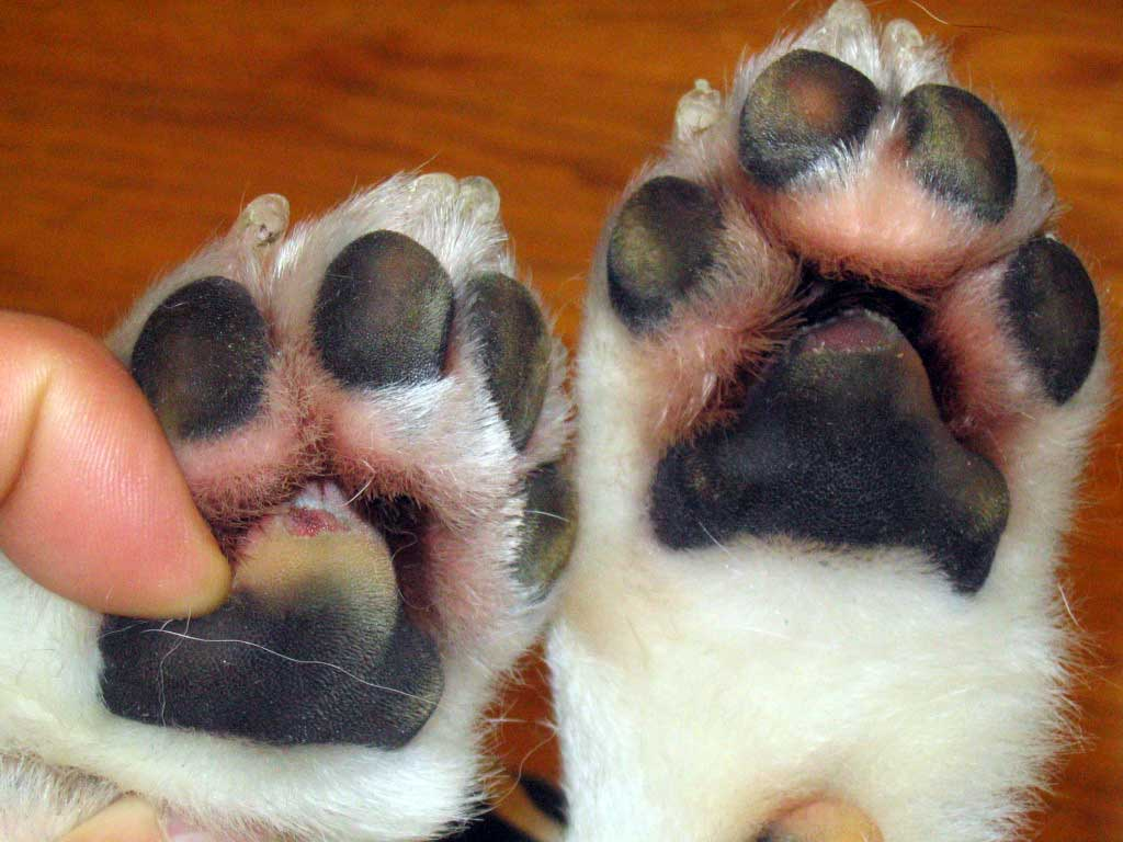 Burned Dog Paws How To Naturally Treat Your Dog S Injured