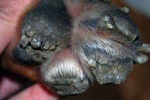 crusty dog paw