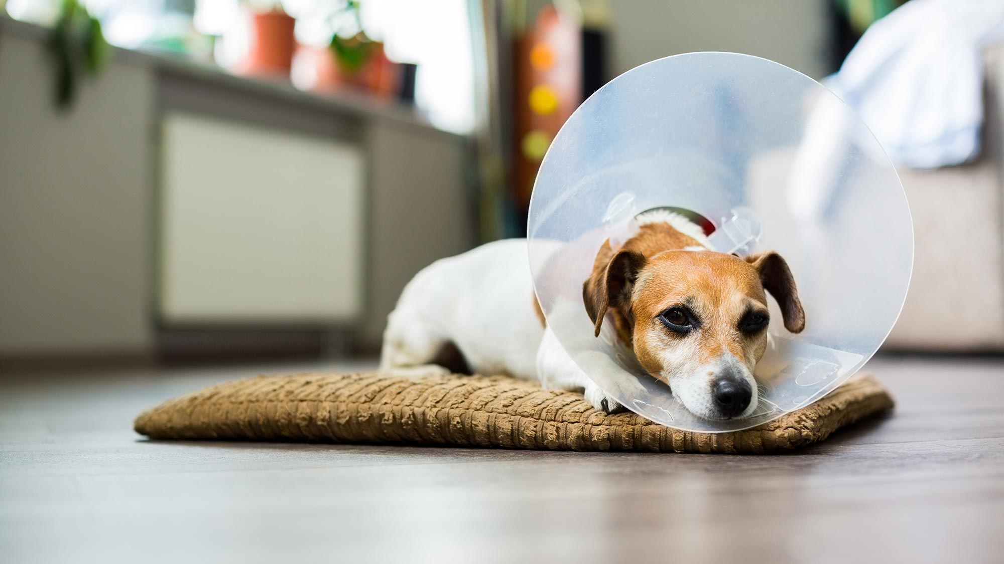 Dog Post Surgery Wound Care