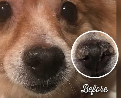 Snout Soother healed hyperkeratosis