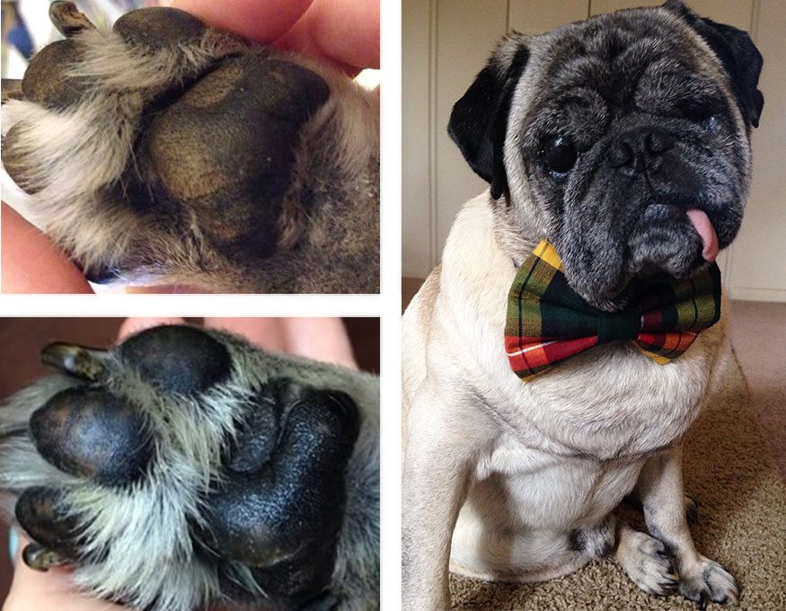 Collage of a pug's toes before and after application of Natural Dog Company Paw Soother.