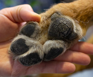 Dog's paw with dry, cracked pads.