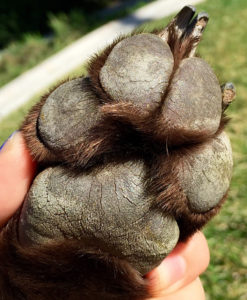 Dry, rough dog paws from walking on hot pavement