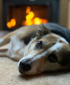 Dog lying in front of a fireplace, causing their nose to dry out.