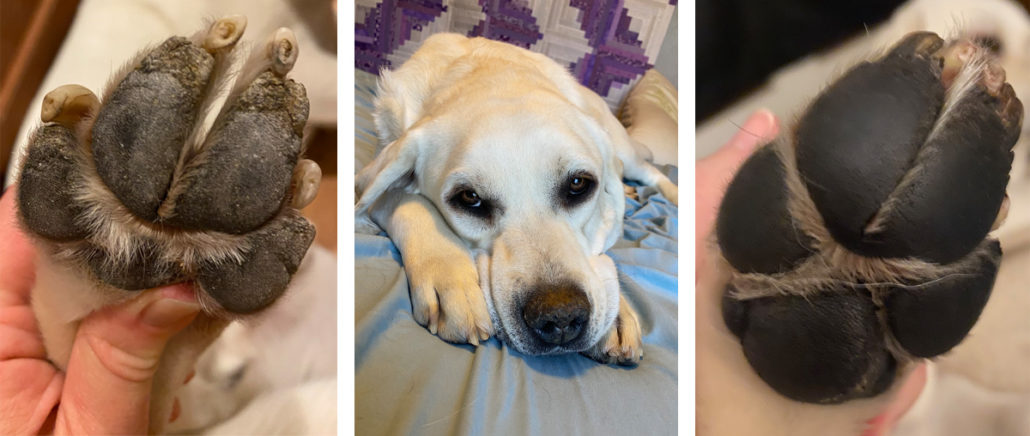 Photo collage showing a Lab's paw affected by Hyperkeratosis, with dry, flaking skin on left, and a smooth, healthy paw pad on right