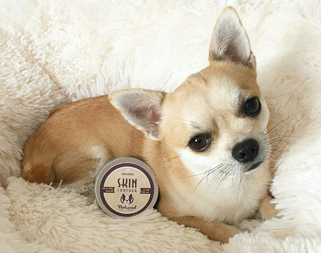 Blonde chihuahua with tin of Skin Soother